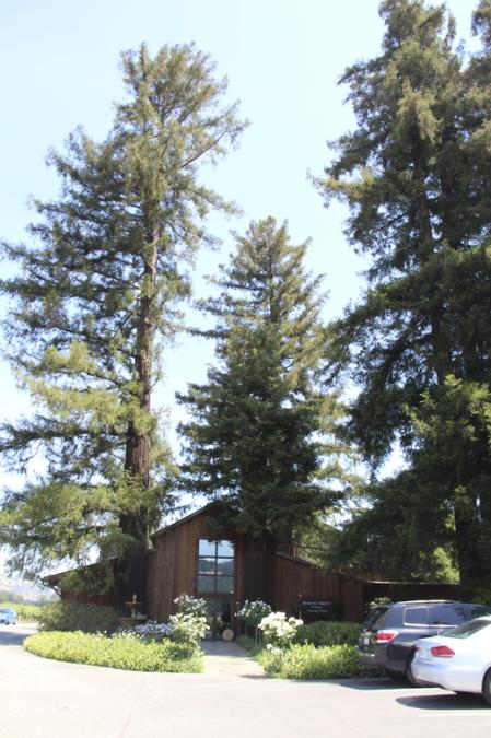 Grandes sequoias dão as boas-vindas aos visitantes